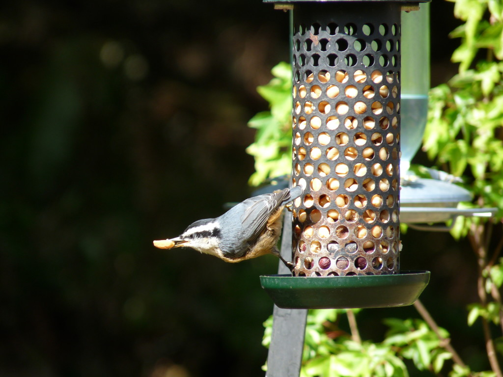 Red-breasted Nuthatch with nut