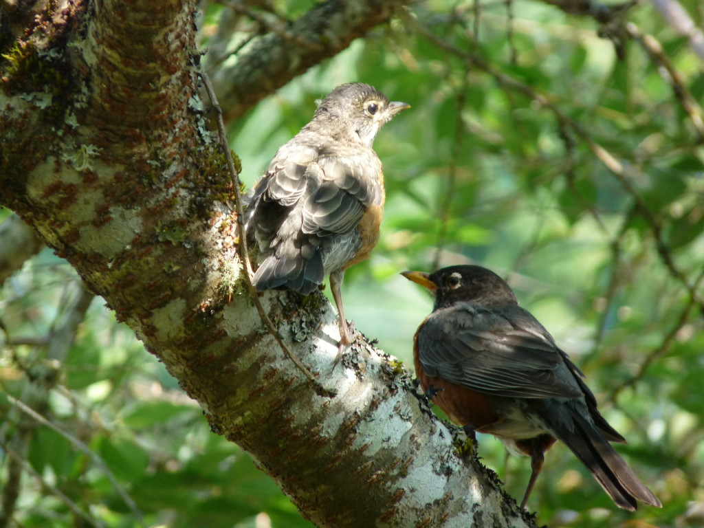 Mama Robin and baby in Japanese cherry tree outside bedroom