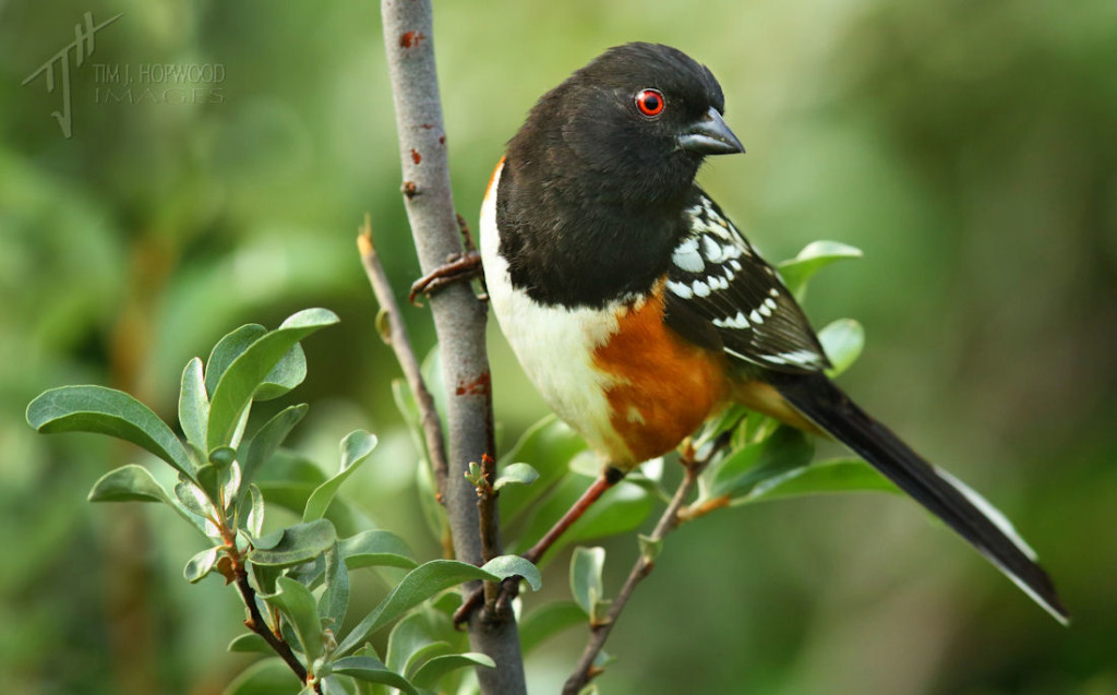 Spotted Towhee at Dinosaur PP