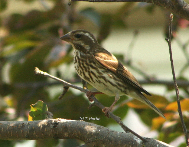 Female Purple Finch in the Crabapple Tree
