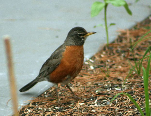Robin in the flowerbed
