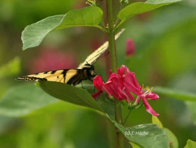 Tiger Swallowtail Butterfly on Honeysuckle Shrub