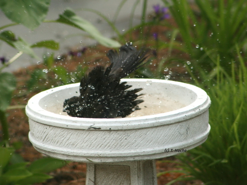 Grackle Bath Time