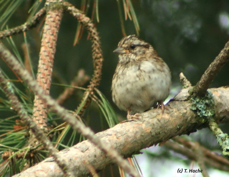 Immature White Throated Sparrow