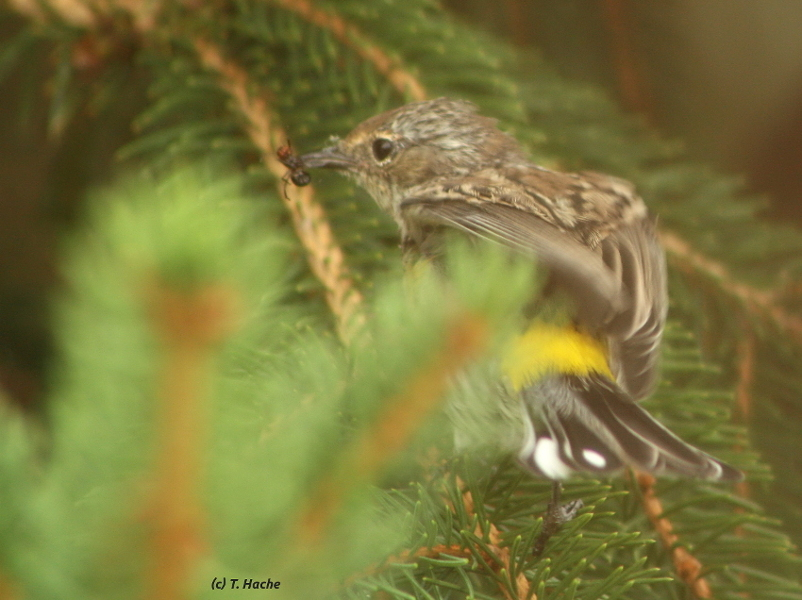 Immature Yellow Rumped Warbler With Lunch