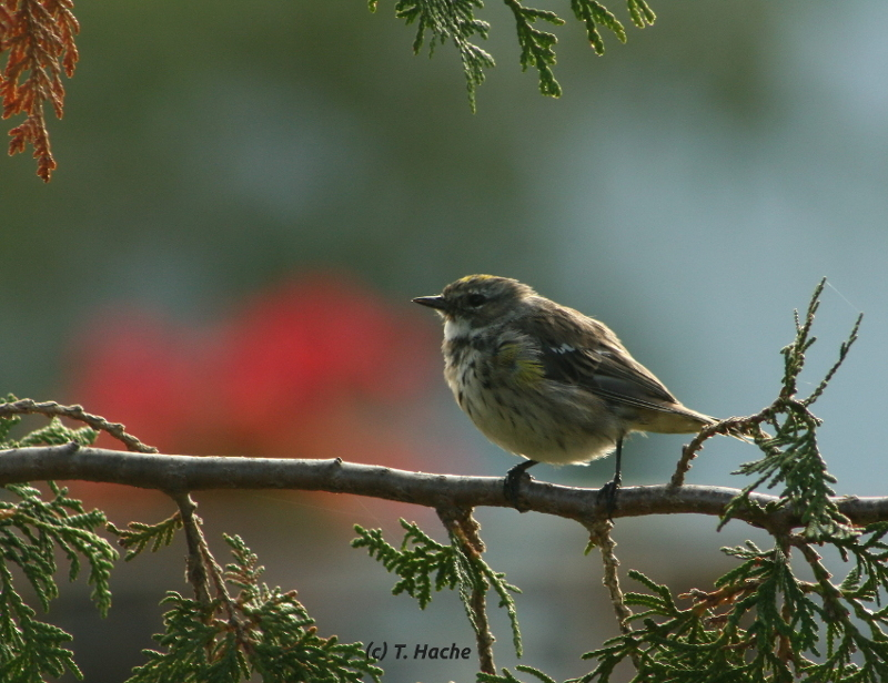 Immature Yellow Rumped Warbler