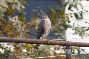 Sharp-shinned Hawk, one of 3 hawk species to visit the backyard.