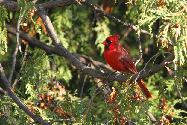 Northern Cardinal, our first backyard visitor.