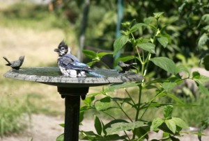 A Blue Jay enjoys a bath on a hot summers day.