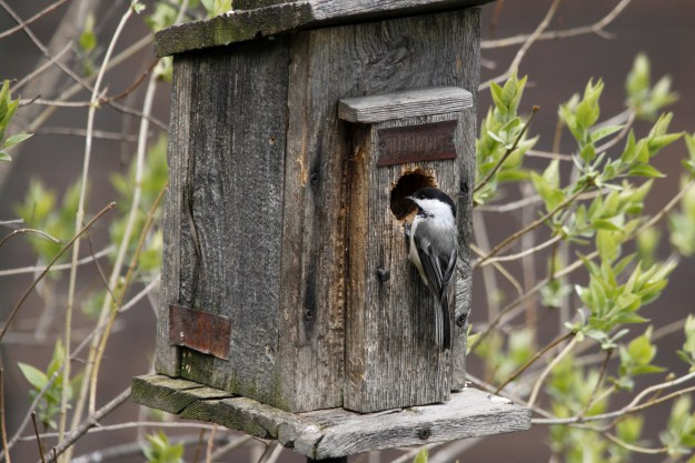 Chickadees have nested in the backyard a few times.
