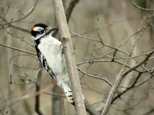 Downy Woodpeckers are year round visitors to our yard.