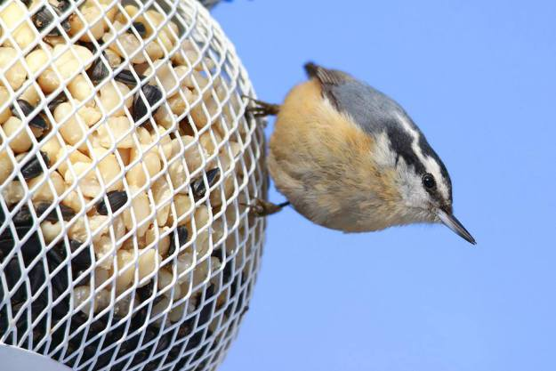 We enjoy the Red-breasted Nuthatches in the winter.