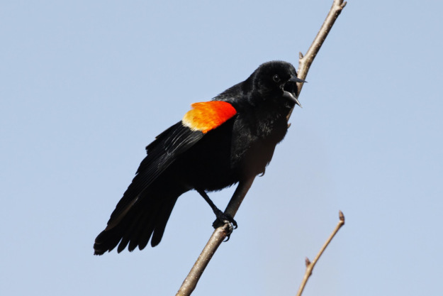 Our sign of Spring, the arrival of the Red-winged blackbirds.