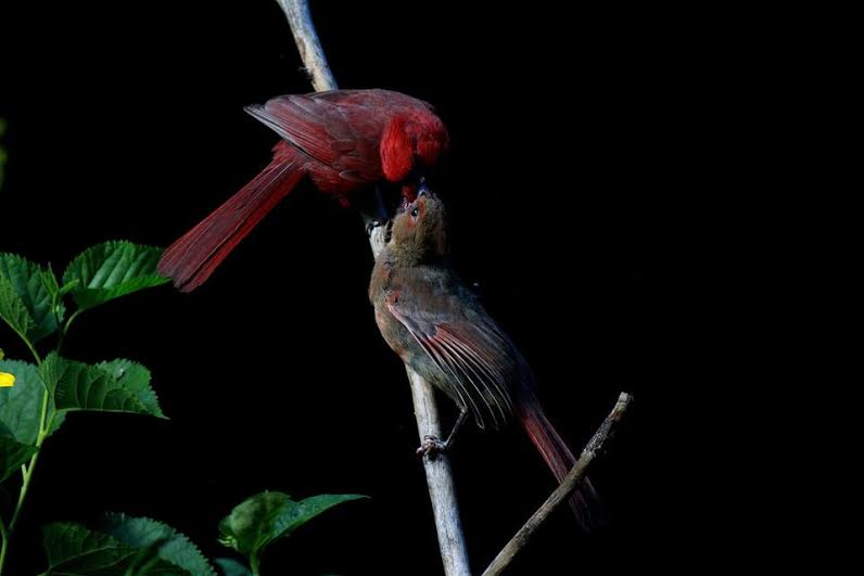 A male Northern Cardinal feeds one of his young.