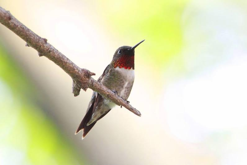 Our regular male Ruby-throated Hummingbird in his favorite spot.