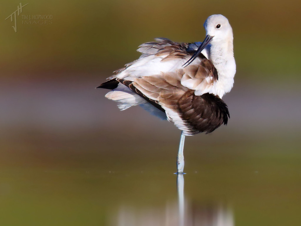 An American Avocet preening it's non-breeding plumage.