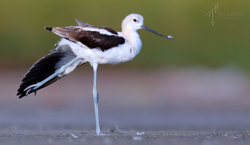 An American Avocet going the full stretch!