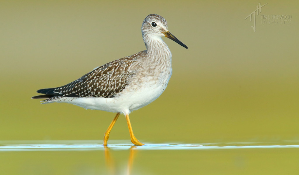 A Lesser Yellowlegs - a pretty common site in these parts in late summer.
