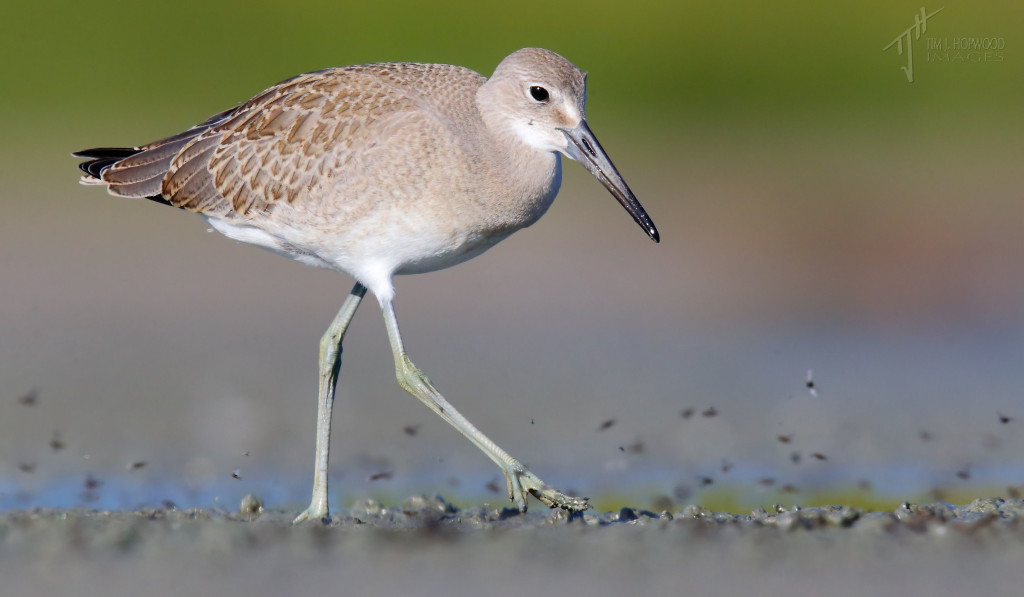 A Willet chasing sand-flies.
