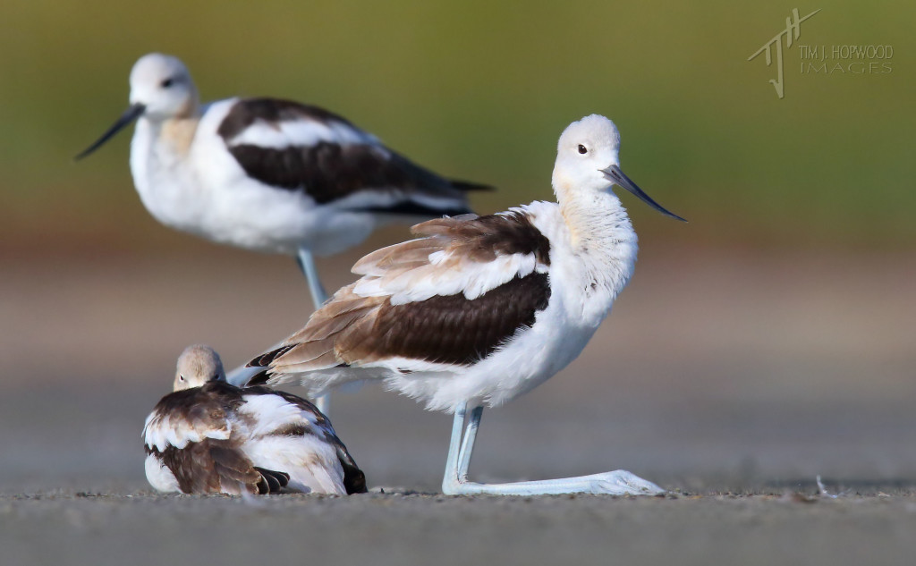 A trio of Avocets in various states of repose. The 'knee sit' was a new one for me!