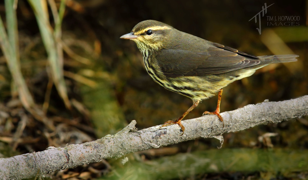 A nice bonus - a Northern Waterthrush that made a brief appearance while I photographed the soras.