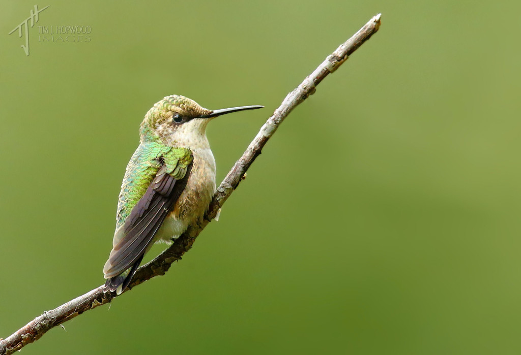 A female Ruby-throated Hummingbird...a nice surprise!