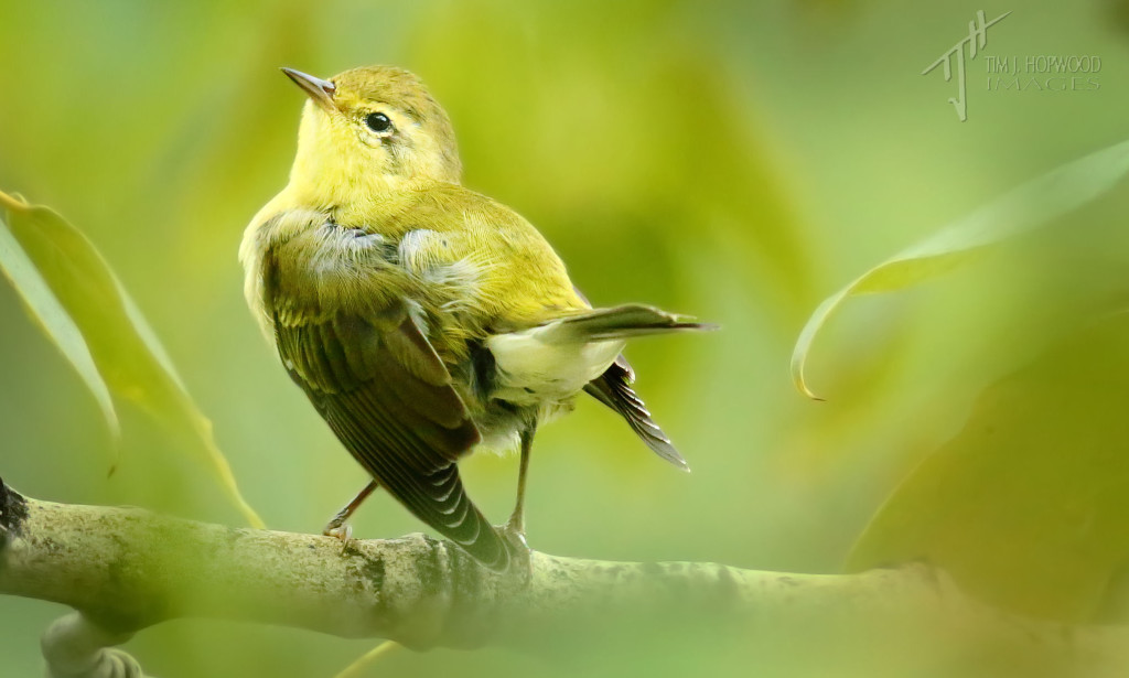 A Tennessee Warbler strikes a pose during preening.