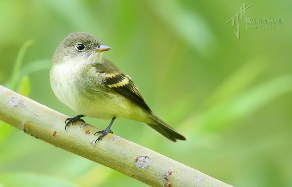 Willow Flycatcher - I think!