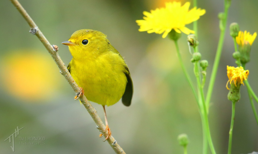 Wilson's Warbler - a female I think, frolicking in late-season dandelions.