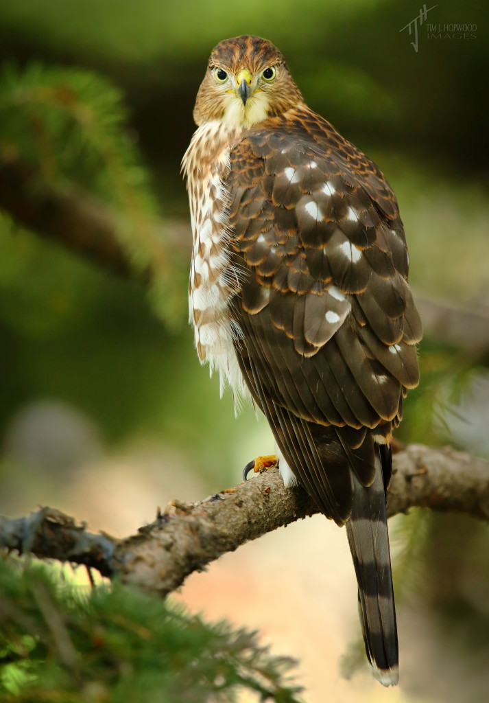 Cooper's Hawk - this juvenile has at least two siblings and had yet to develop a fear of humans like me.