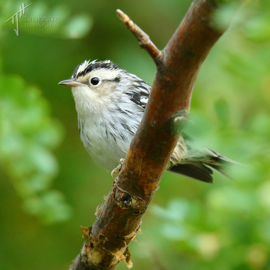 An elusive (for me) Black & White Warbler female.