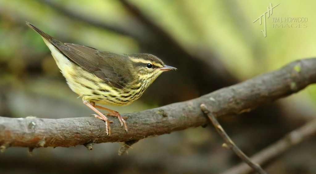 Northern Waterthrush - I found they like to skulk in the undergrowth but will occasionally pop up for a look around.