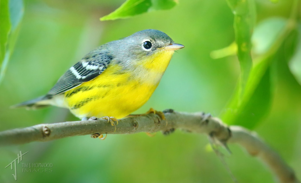 Magnolia Warbler - a pair of these fed in the trees next to my trailer.