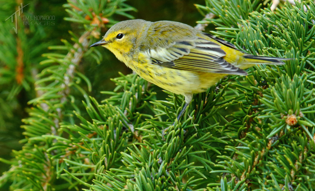 Cape May Warbler well on its way to non-breeding plumage
