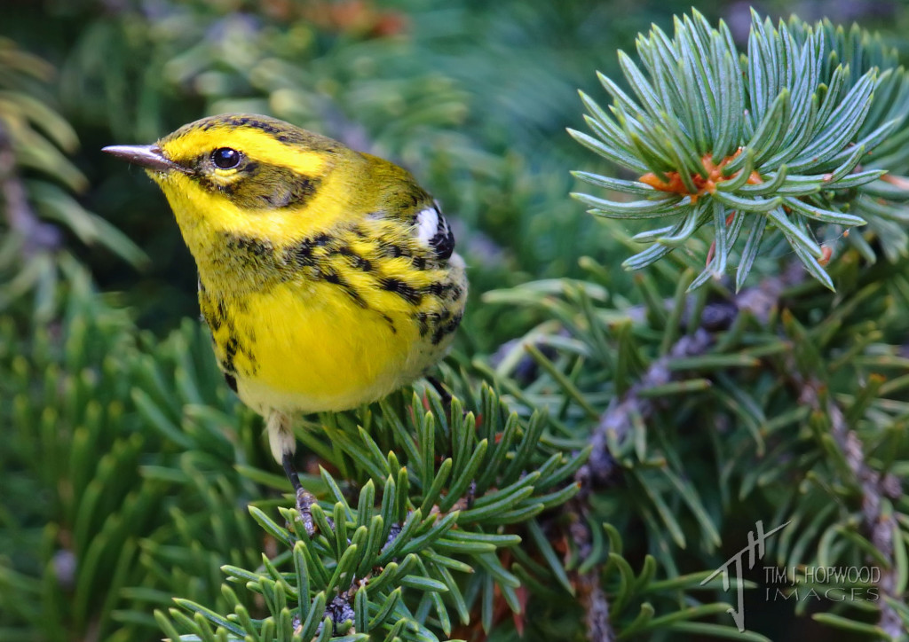 Townsend's Warbler - easily the best looks I've ever got of one of these.