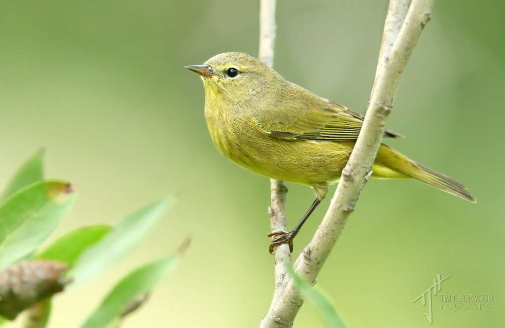 Orange-crowned Warbler - had to refer to a few guides to ID this one!