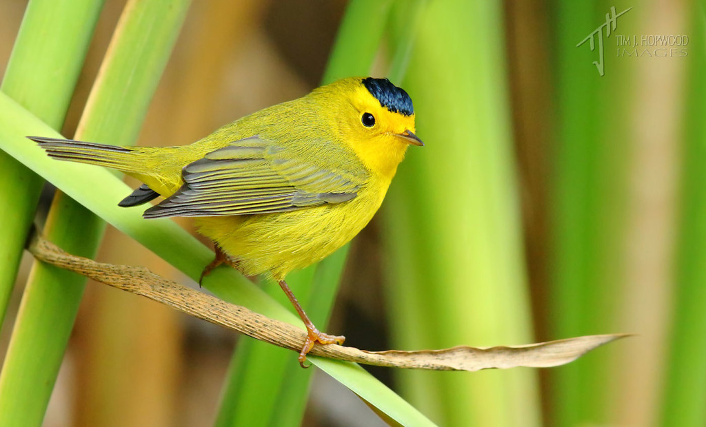 I started with a Wilson's Warbler, so why not finish with one too? This bird was one of several Wilson's plucking insect larvae from reeds by a stream.