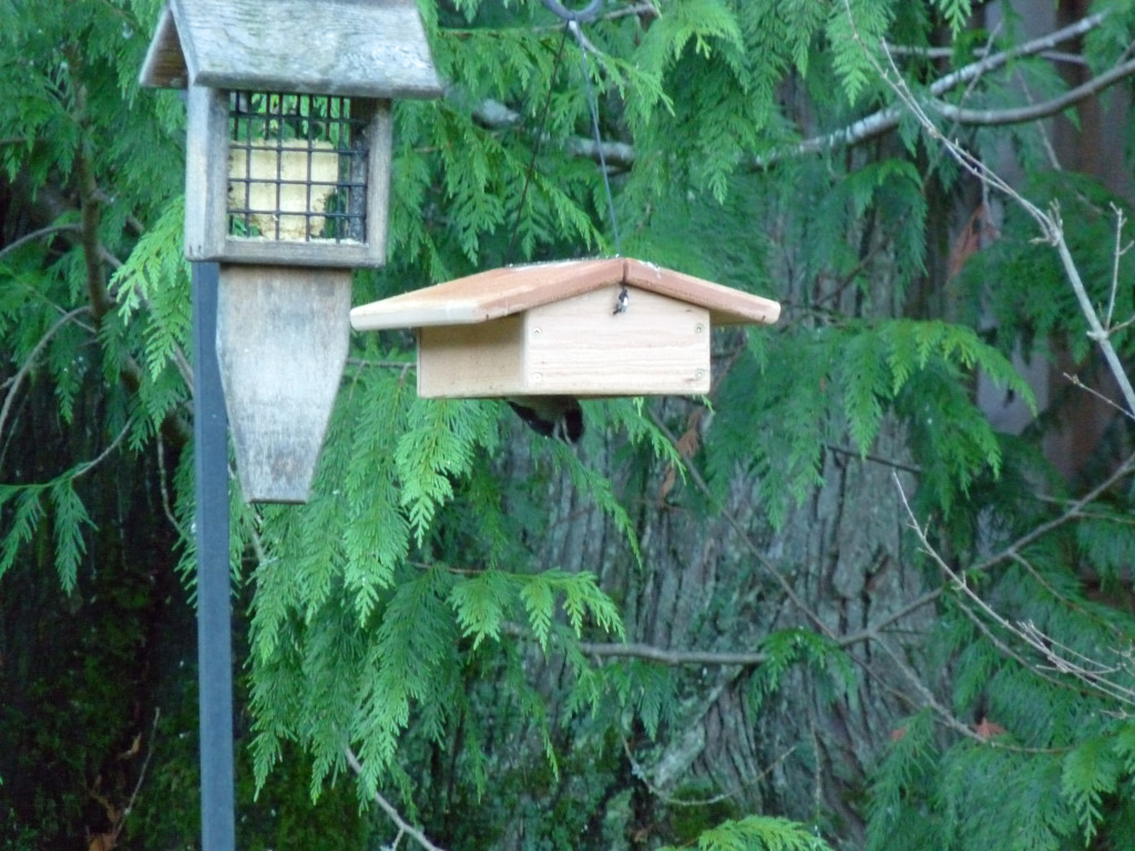 "Downy feeding from ""Chickadee Suet Feeder"""