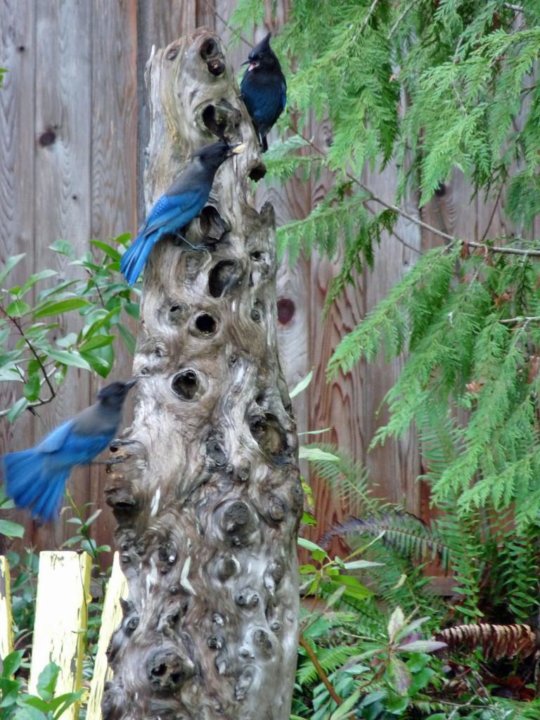 The Steller's Jays seem to like the driftwood feeder