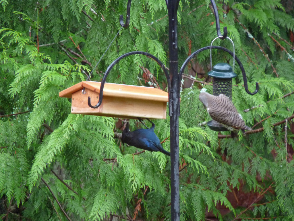 For a few days the jays jumped up and grabbed small bites. Then, this happened!