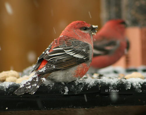 Male Pine Grosbeaks