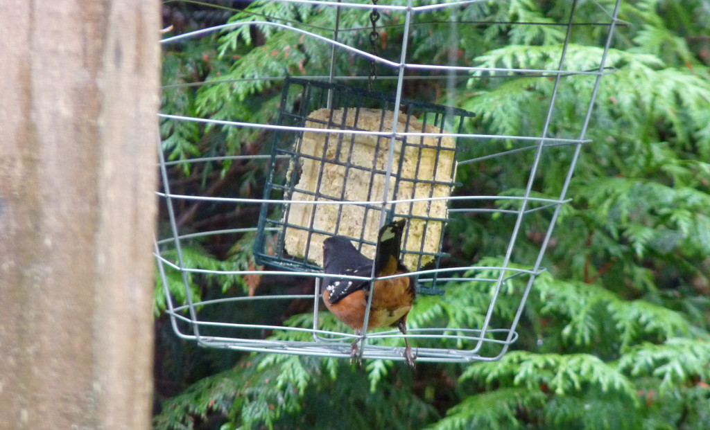 Spotted Towhee eating happily in the contraption