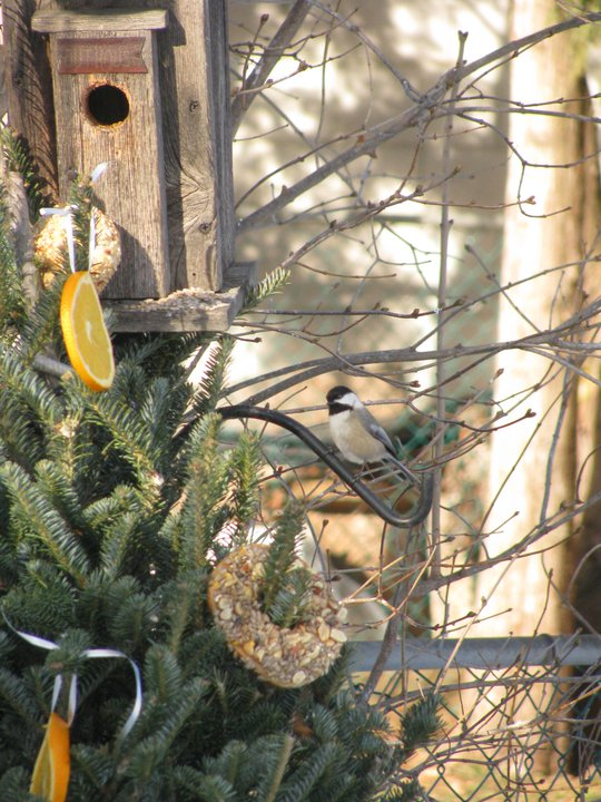 A Chickadee checks out the bounty. 2010