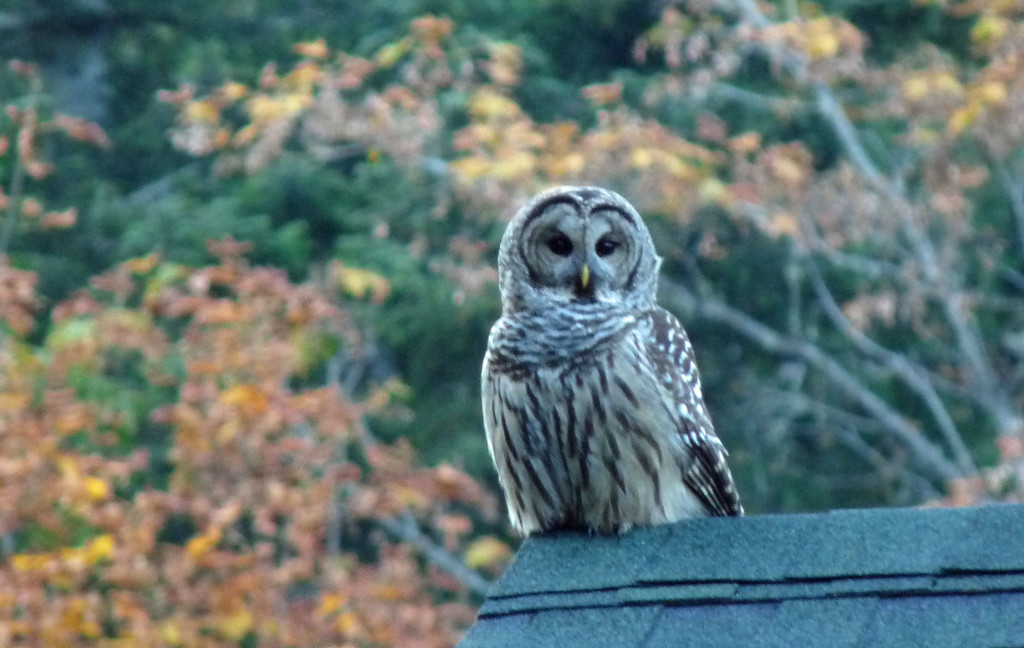 Barred Owl. Omnipresent but mysterious.