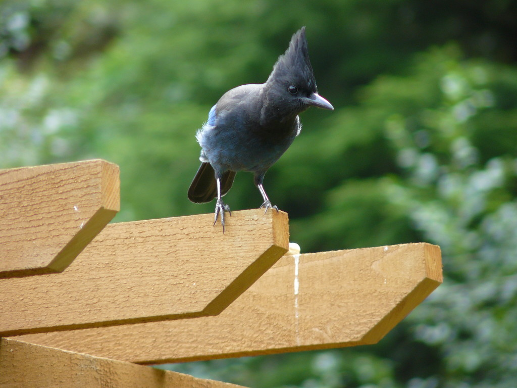 Steller's Jay waiting for his peanuts