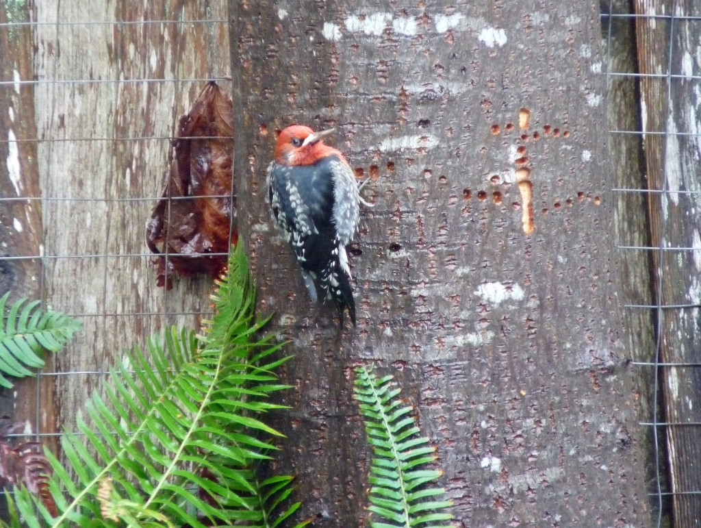 Red-breasted Sapsucker watching me watch it