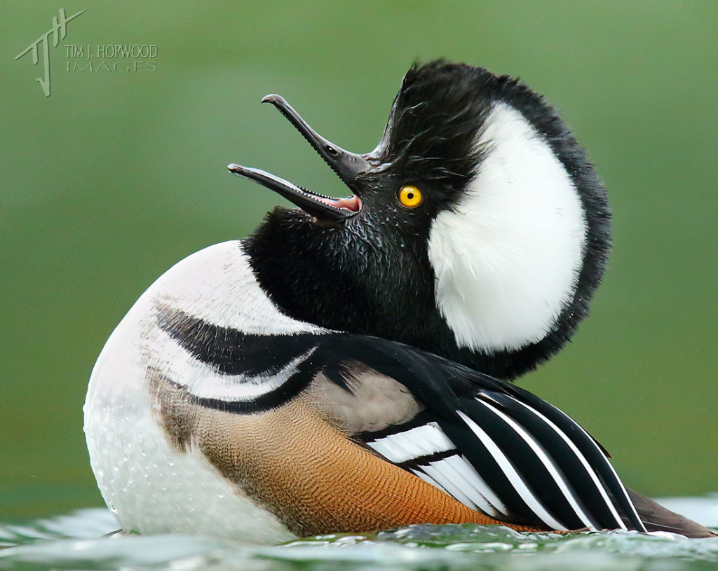 A Hooded Merganser drake mid-courtship display....but more about him later!