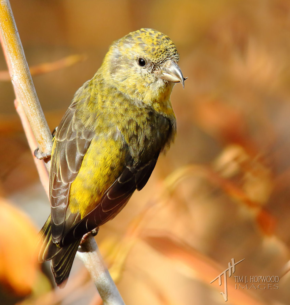 A female Red Crossbill