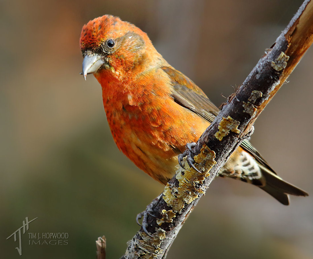 A male Red Crossbill