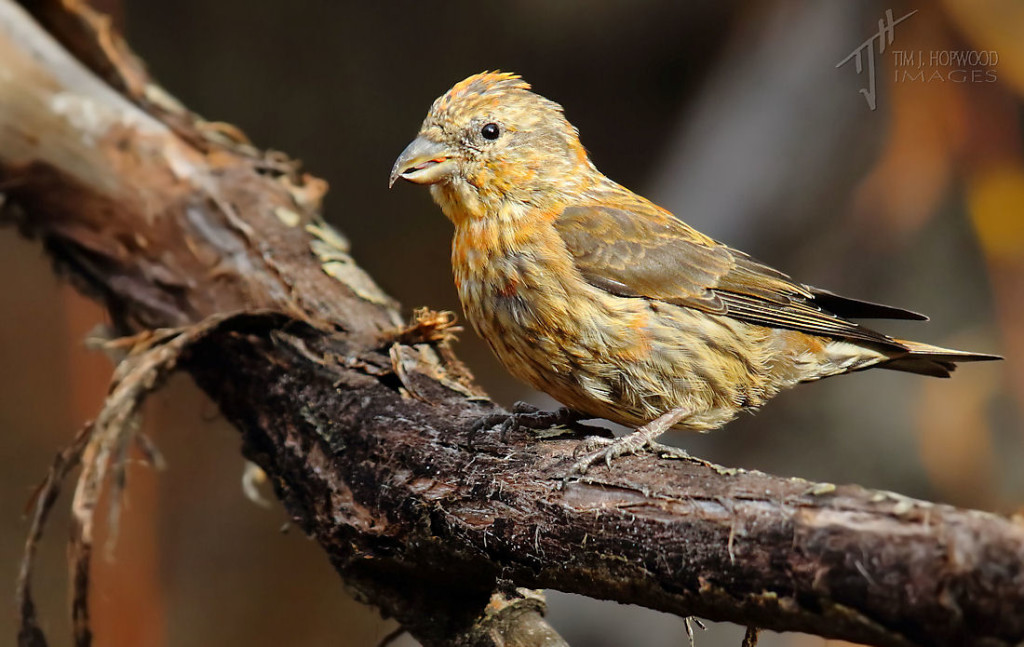 A juvenile male Red Crossbill